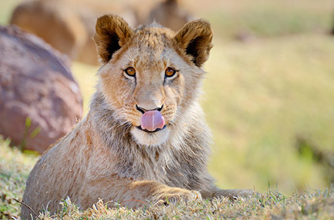 Lion Conservation - Young Male