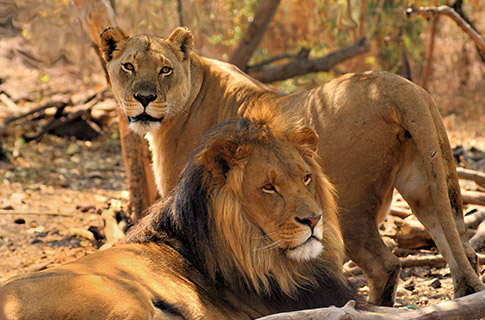 Lion Conservation - Toby and Sheila